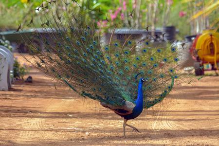 Dancing peacock Stock Photo