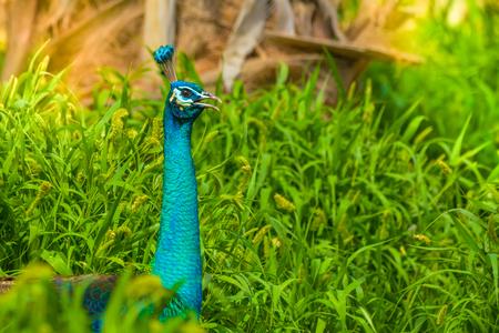 Peacock close up head shot