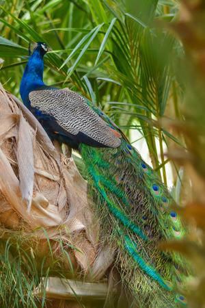 Peacock back poss