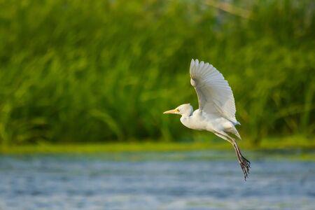 Indian pond heron in the lake, Jeddha - Saudi arabia