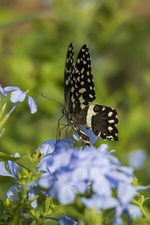 Common lime butterfly on blue plumbago flower