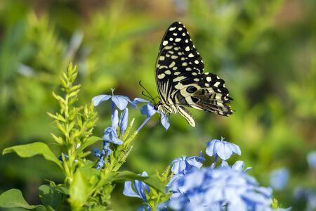 Common lime butterfly on blue plumbago flower Stock fotó