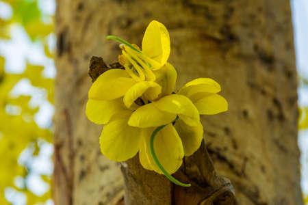 Golden shower tree in bloom at Jeddah, Saudi arabia