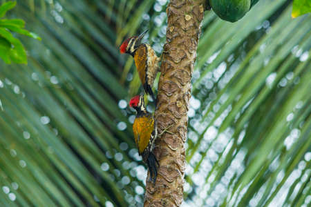 Black rumped flameback woodpeckers Banco de Imagens