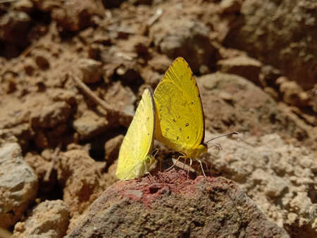 picture of two spotless grass yellow butterflies sitting on a brick. Banque d'images