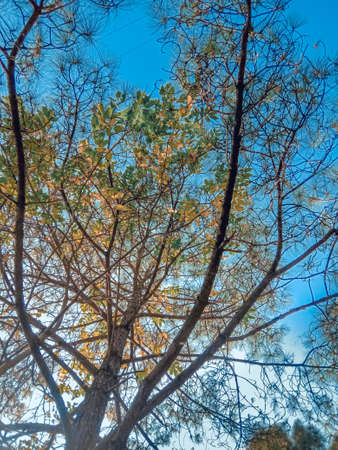 picture of skyblue sky and pine trees. nature photo.