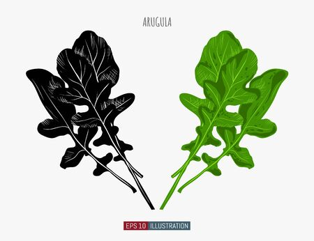 Hand drawn arugula. Template for your design works. Engraved style vector illustration. Ilustracja