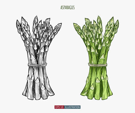 Hand drawn asparagus. Template for your design works. Engraved style vector illustration. Vetores