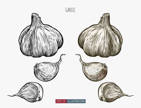 Hand drawn garlic. Template for your design works. Engraved style vector illustration.