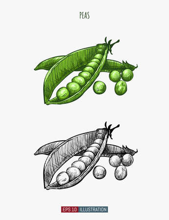 Hand drawn peas. Template for your design works. Engraved style vector illustration.