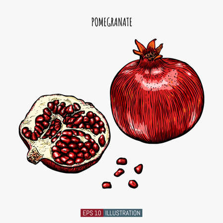 Hand drawn pomegranate isolated. Template for your design works. Engraved style vector illustration.