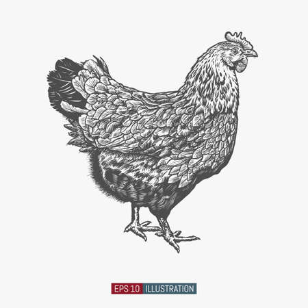 Hand drawn chicken isolated. Engraved style vector illustration. Template for your design works.