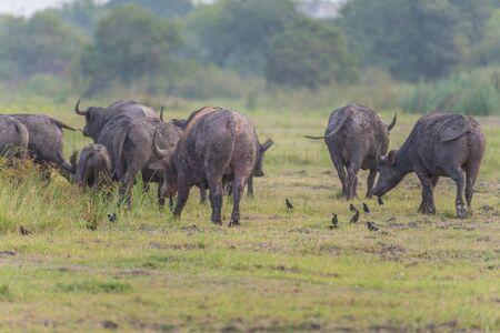 buffalo grass: Water buffalo in grass field,Thauland Stock Photo