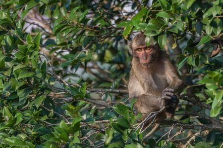 Macaque in nature habitat,Phetburi,Thailand Stock Photo