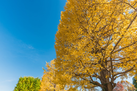 showa: Autumn color of ginkgo tree against clear sky.