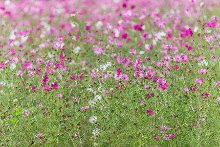 Beautiful cosmos flowers in blooming