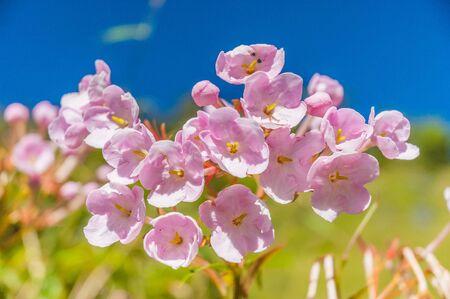 luculia gratissima flower ,rare flower of Chiang Dao mountain, Thailand