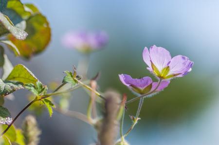 siamensis: Chiang Dao Flora : Geranium lamberti ssp. siamensis (GERANIACEAE), at Doi Luang Chiang Dao in Chiang Mai Province, Thailand.