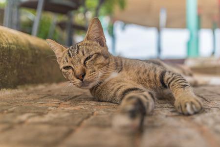 longhair: Thailand Cat reclined on floor