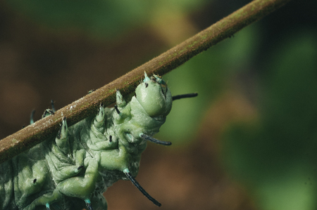 underwing: The big green caterpillar is moving slowing