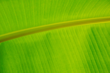 Closeup of green banana leaf texture