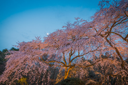 Large Weeping Cherry Tree in spring,Japan Stock Photo