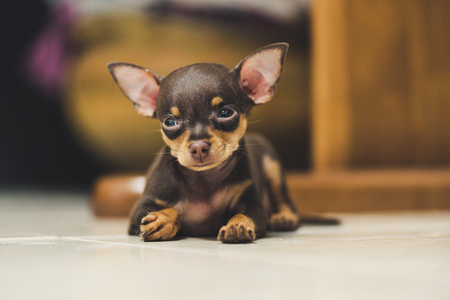 Pinscher puppy sleeping on blur background Stock Photo