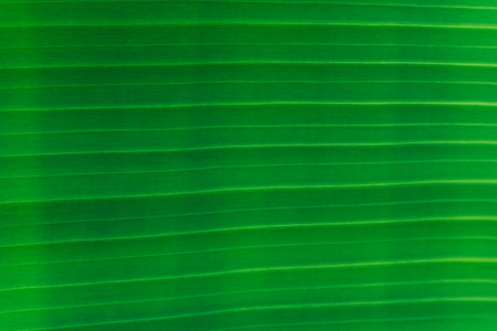 conservatory: Closeup of banana leaf texture abstract background Stock Photo