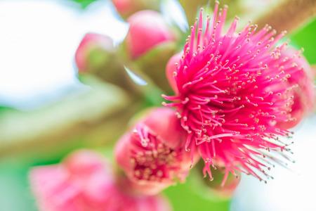 Rose apples flower on tree. (Syzygium malaccense) Stock Photo