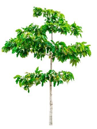 Green tree isolated on white background. Stock Photo