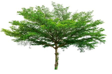 huge tree: Green tree isolated on white background (Terminalia) Stock Photo