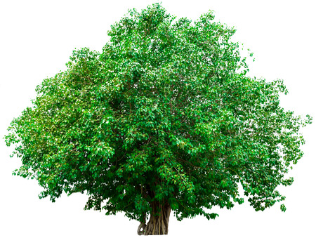 huge tree: Green tree isolated on white background. Stock Photo
