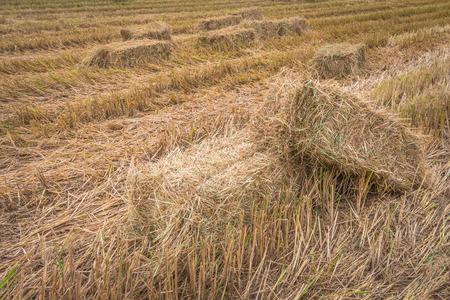 태국의 여름에는 쌀 필드에 짚 bales.