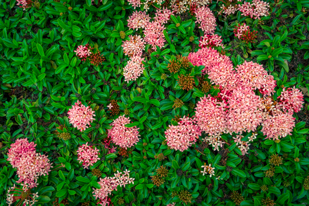 Ixora flower with green leaf on nature backgrounds.