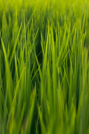 minutiae: Green rice fields in the morning