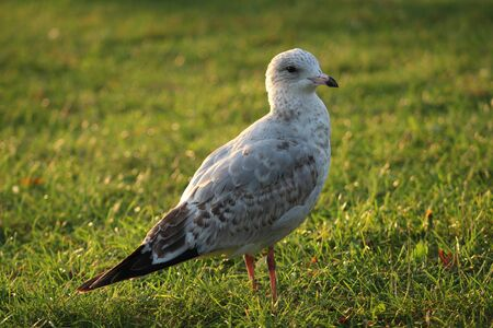 seagull strolling in a park Stock Photo