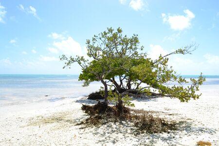 buttonwood tree on the beach. Los Callos, Miami Foto de archivo - 149582463