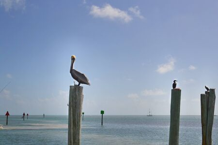pelicans perched on wooden stakes in the blue sea 免版税图像