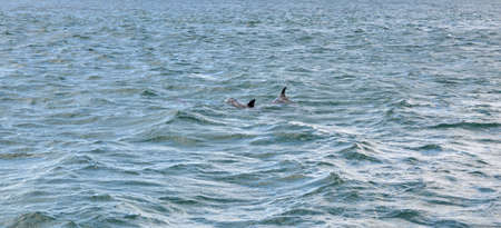 dolphin couple swimming in the sea