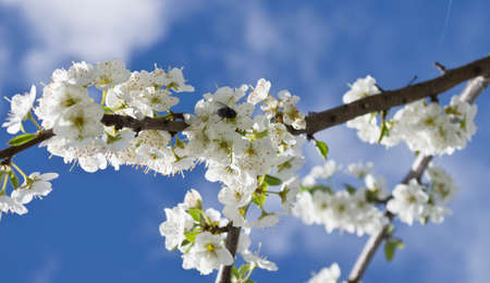 cherry blossom with insect eating. Flowering of the cherry tree. White flowers