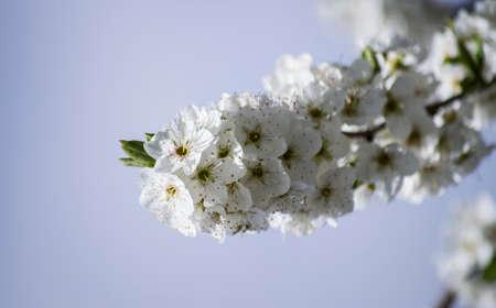 Cherry flower. Flowering of the cherry tree. White flowers