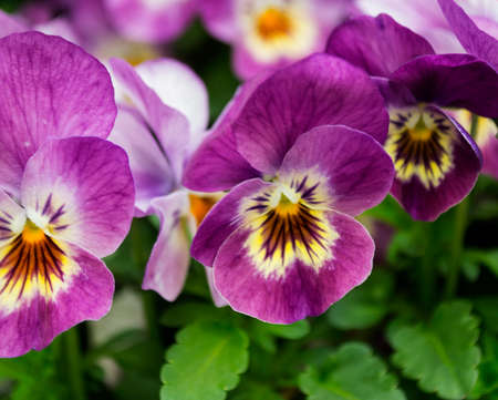 Pansy flowers in violet. Ornamental plants.