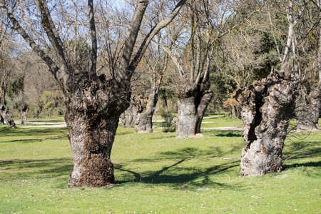 Oak trunks, whimsical forms of nature