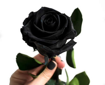 Black rose, held by woman's hand.