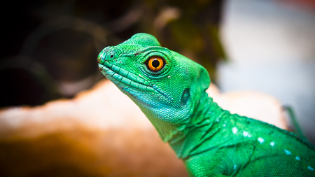 guayaquil: Young iguana captured in the park at Guayaquil Ecuador. Stock Photo