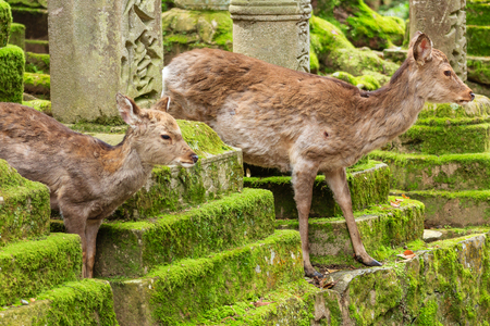 Young deer in Nara Park, Japan. The deer, the symbol of the city of Nara, roam freely and are considered in Shinto to be the messengers of the Gods.
