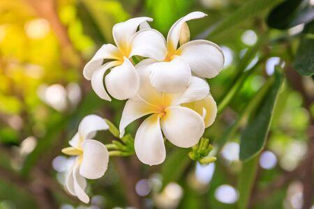 Plumeria flowers on bokeh background beautiful flowers in the plumeria flowers on bokeh background beautiful flowers in the garden white flower asian mightylinksfo