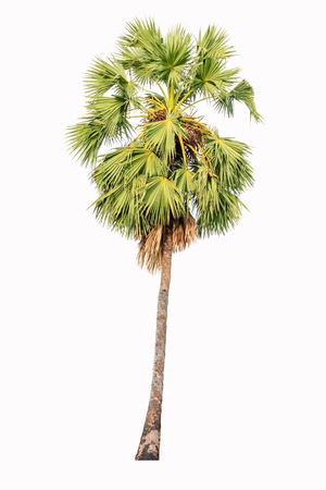 Borassus flabellifer known by several common names, including Asian Palmyra palm, Toddy palm, Sugar palm, or Cambodian palm, isolated on white background
