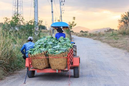 E-taen vehicle or farm tractor pick up cauliflower vegetables in the green organic farm, Thailand Reklamní fotografie