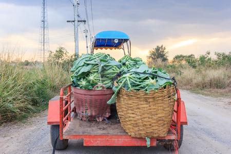 farm tractor(E-taen vehicle) pick up cauliflower vegetables in the green organic farm, Thailand